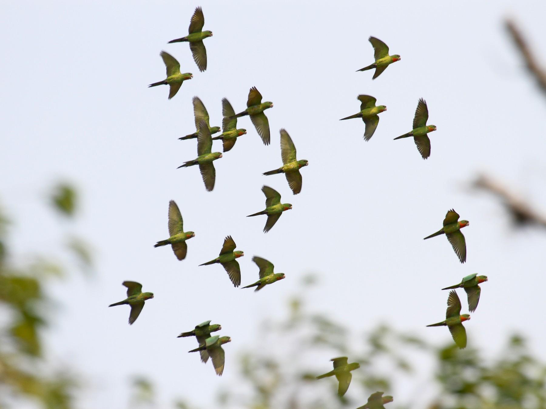 Green Parakeet - Carlos Funes