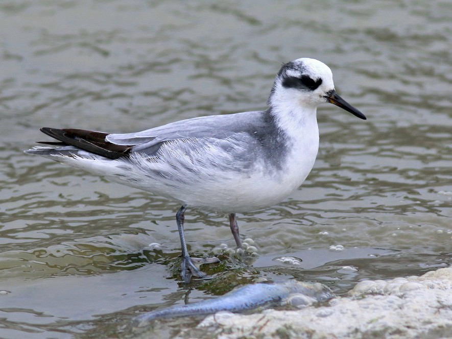 Red Phalarope - Anonymous eBirder