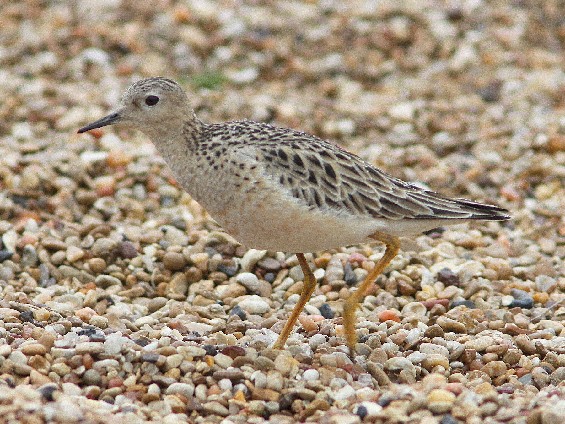 Buff-breasted Sandpiper - Randy Pinkston