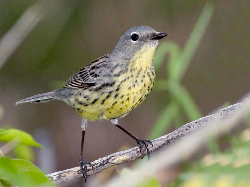 Kirtland's Warbler - fide  R.Smith
