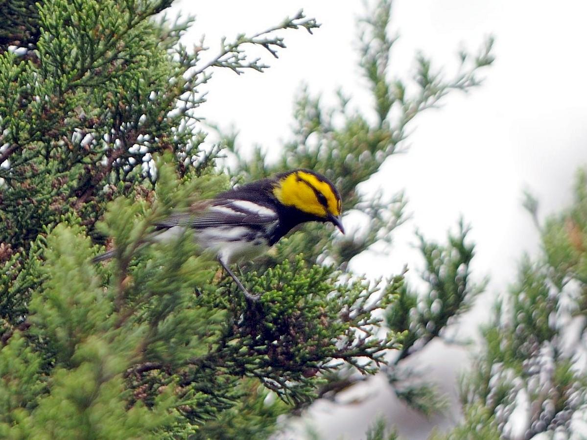 Golden-cheeked Warbler - Thomas Dorazio