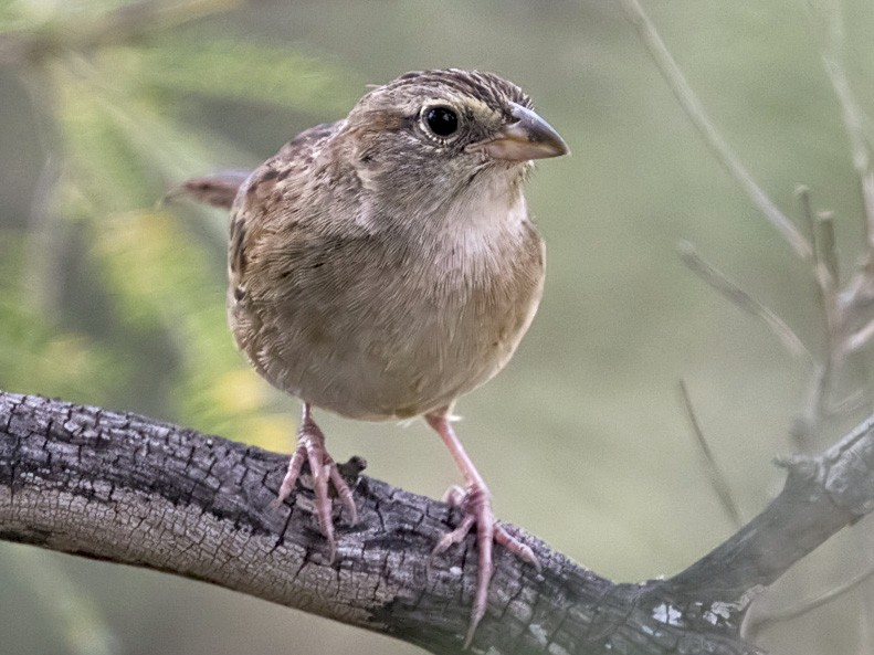 Botteri's Sparrow - Arlene Ripley