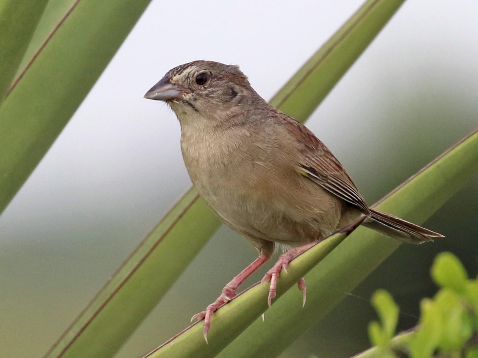Botteri's Sparrow - Dan Jones