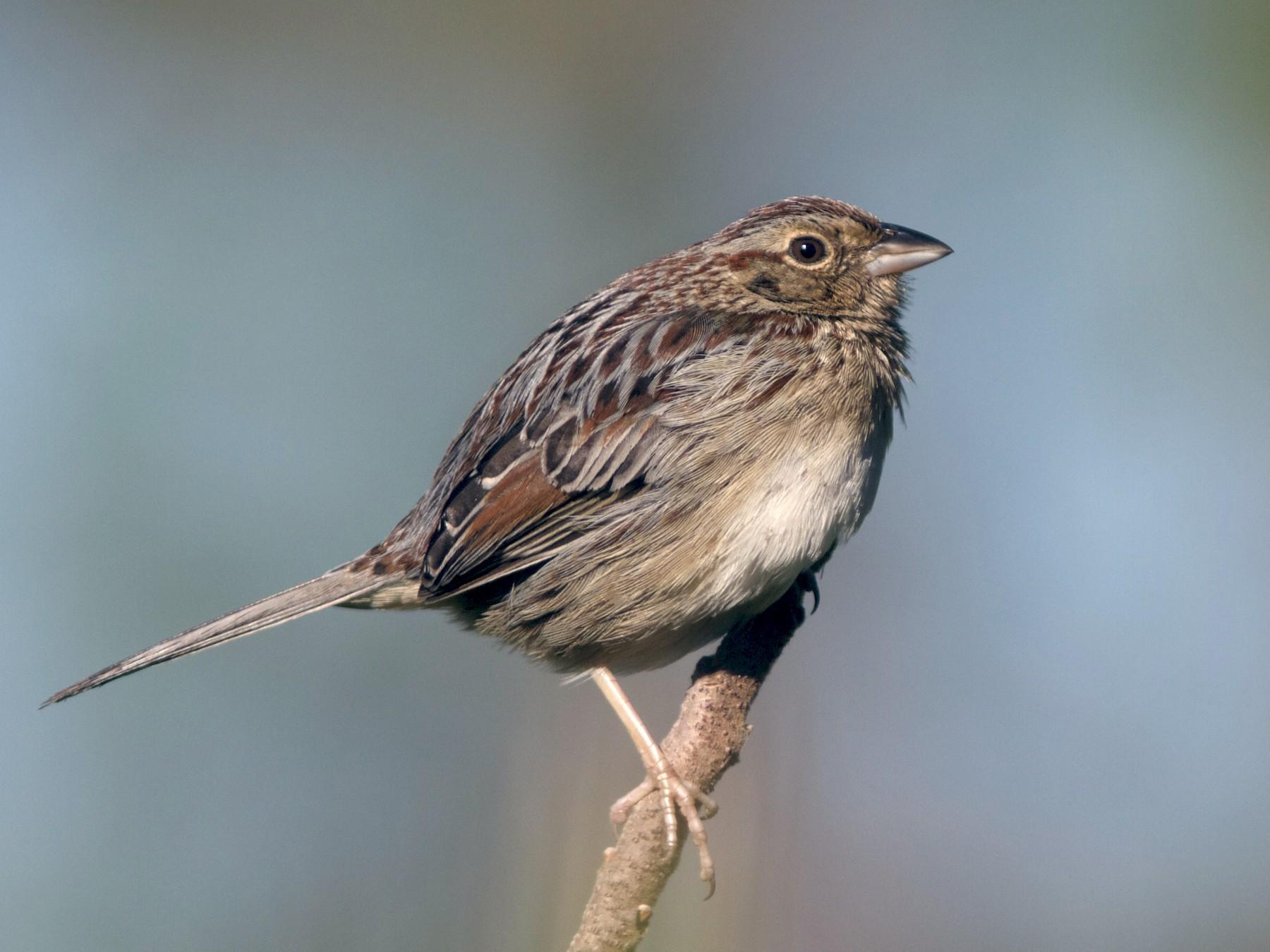 Bachman's Sparrow - Doug Hitchcox