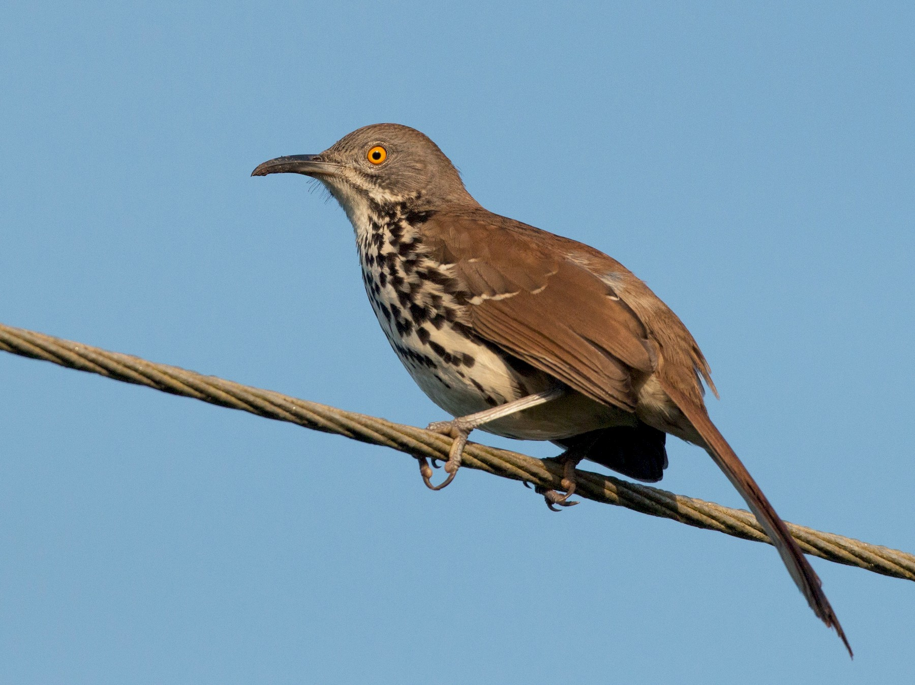 Long-billed Thrasher - Ian Davies