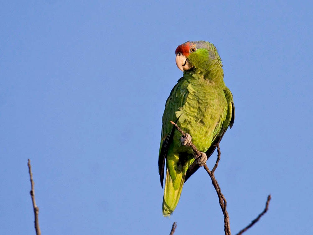 Red-crowned Parrot - Greg Gillson