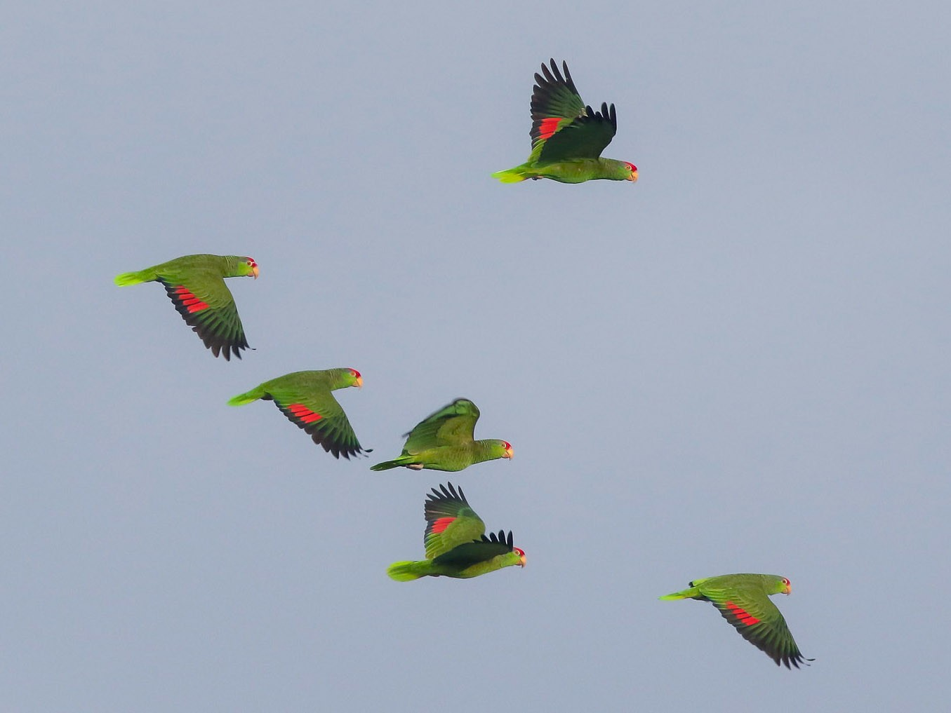 Red-crowned Parrot - Michael O'Brien