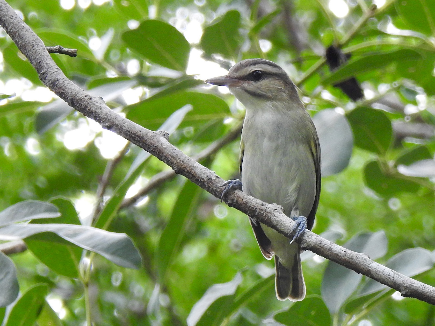 Black-whiskered Vireo - Linda J. Barry