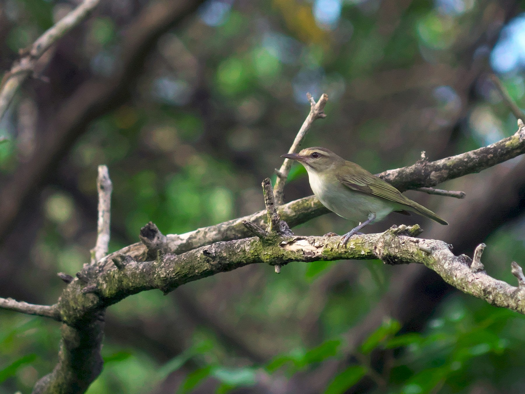 Black-whiskered Vireo - Paul Tavares