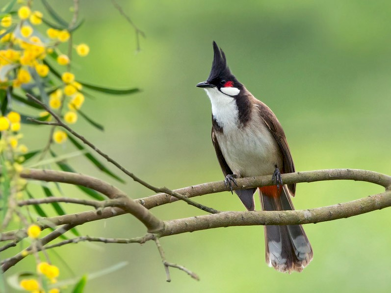 Red-whiskered Bulbul - David Irving