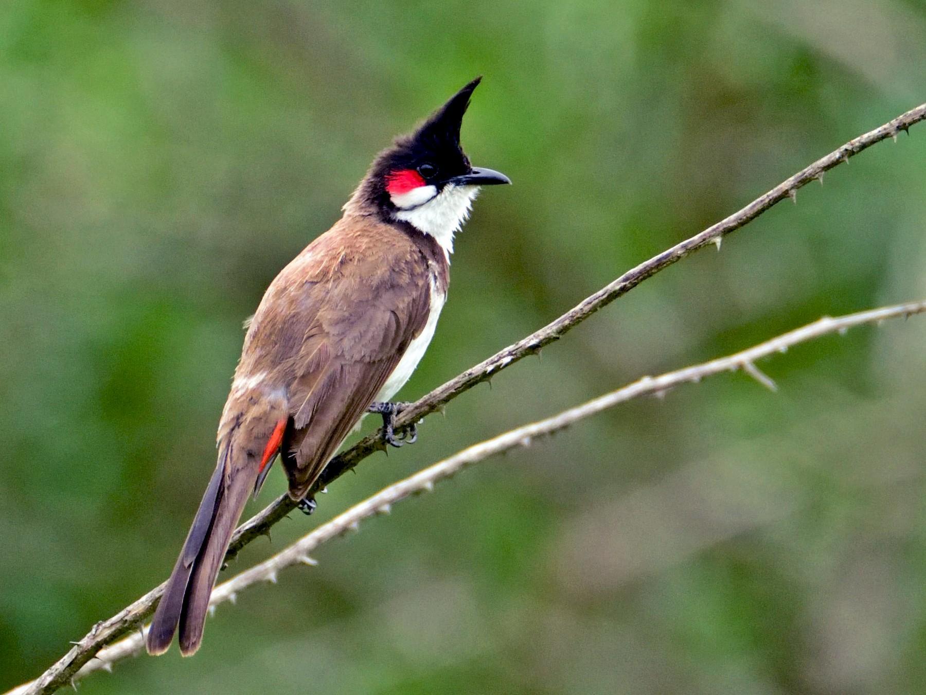 Red-whiskered Bulbul - Prashobh Ailyam Nair