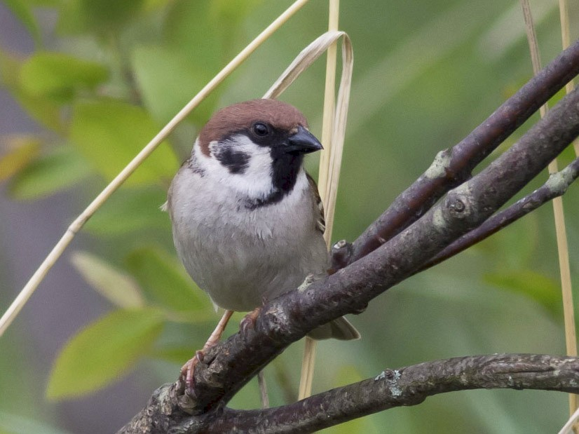 Eurasian Tree Sparrow - Michael Todd