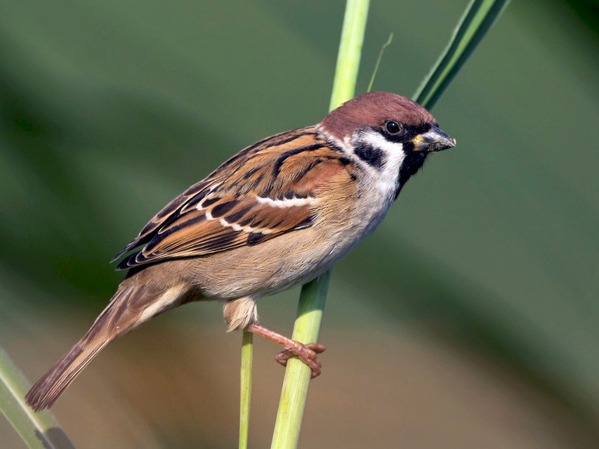 Eurasian Tree Sparrow - David Irving