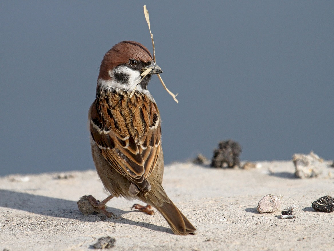 Eurasian Tree Sparrow - Asghar Mohammadi Nasrabadi