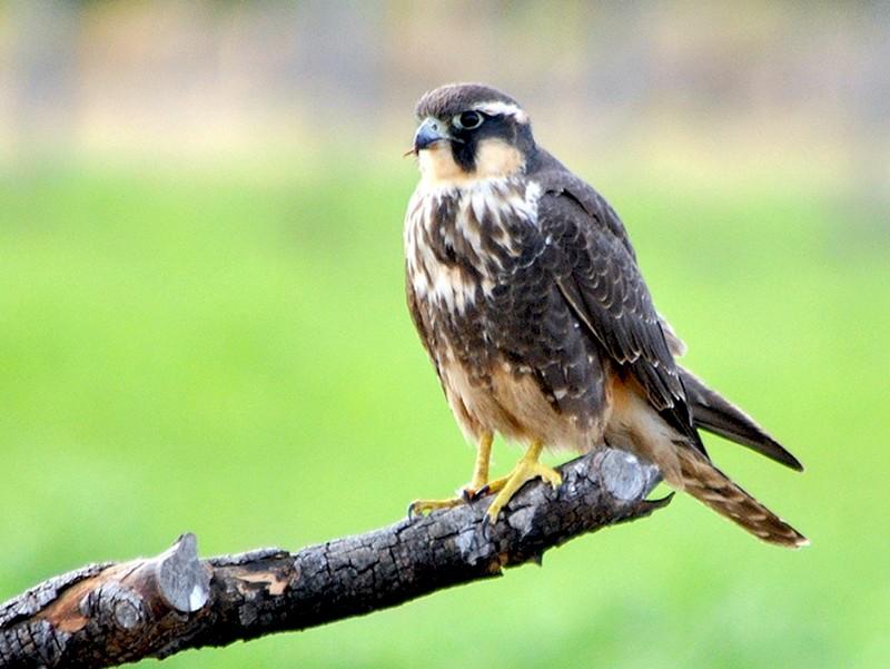 Aplomado Falcon - COA ROCA ÑACURUTÚ