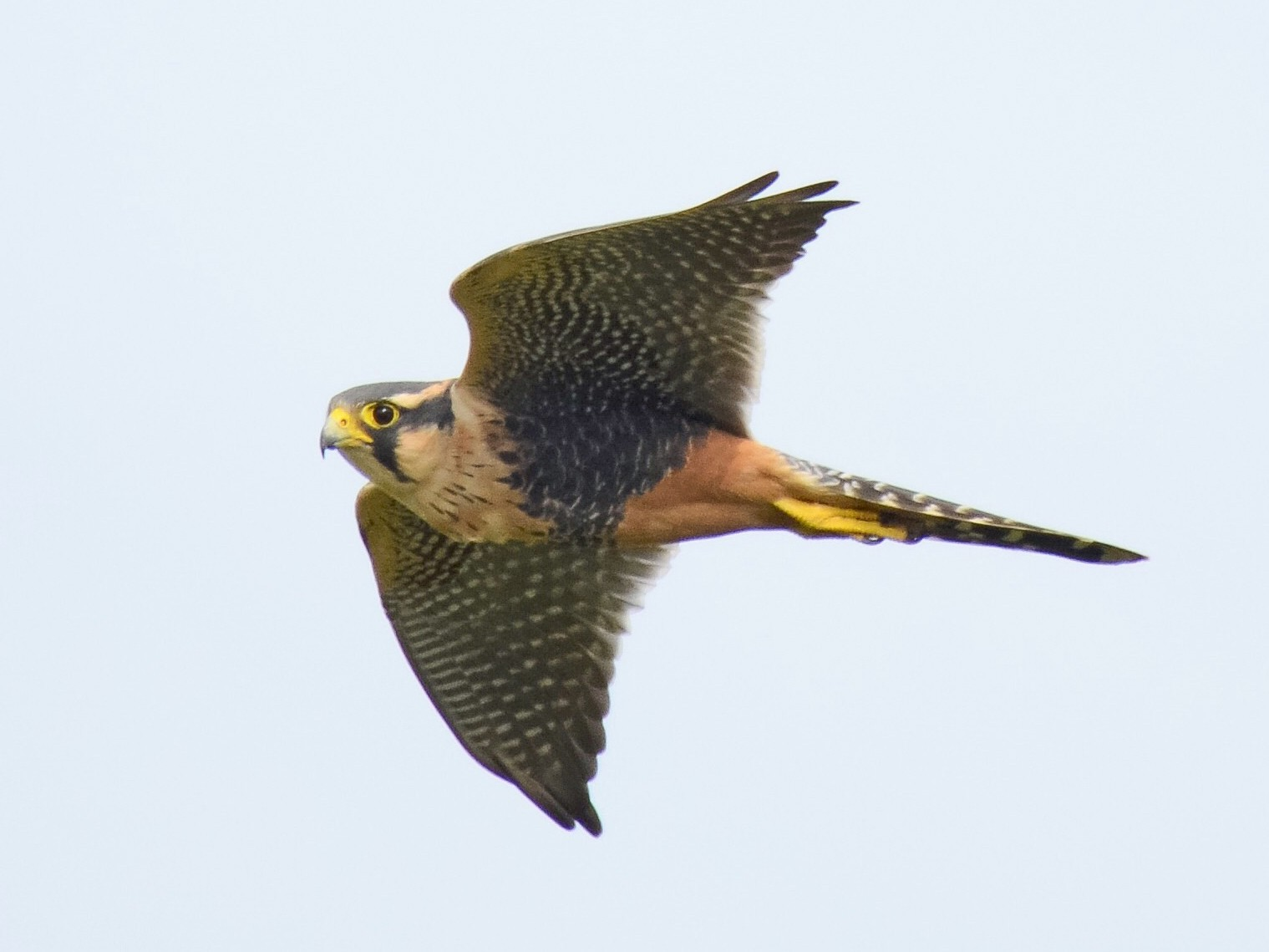Aplomado Falcon - Valeria  Martins