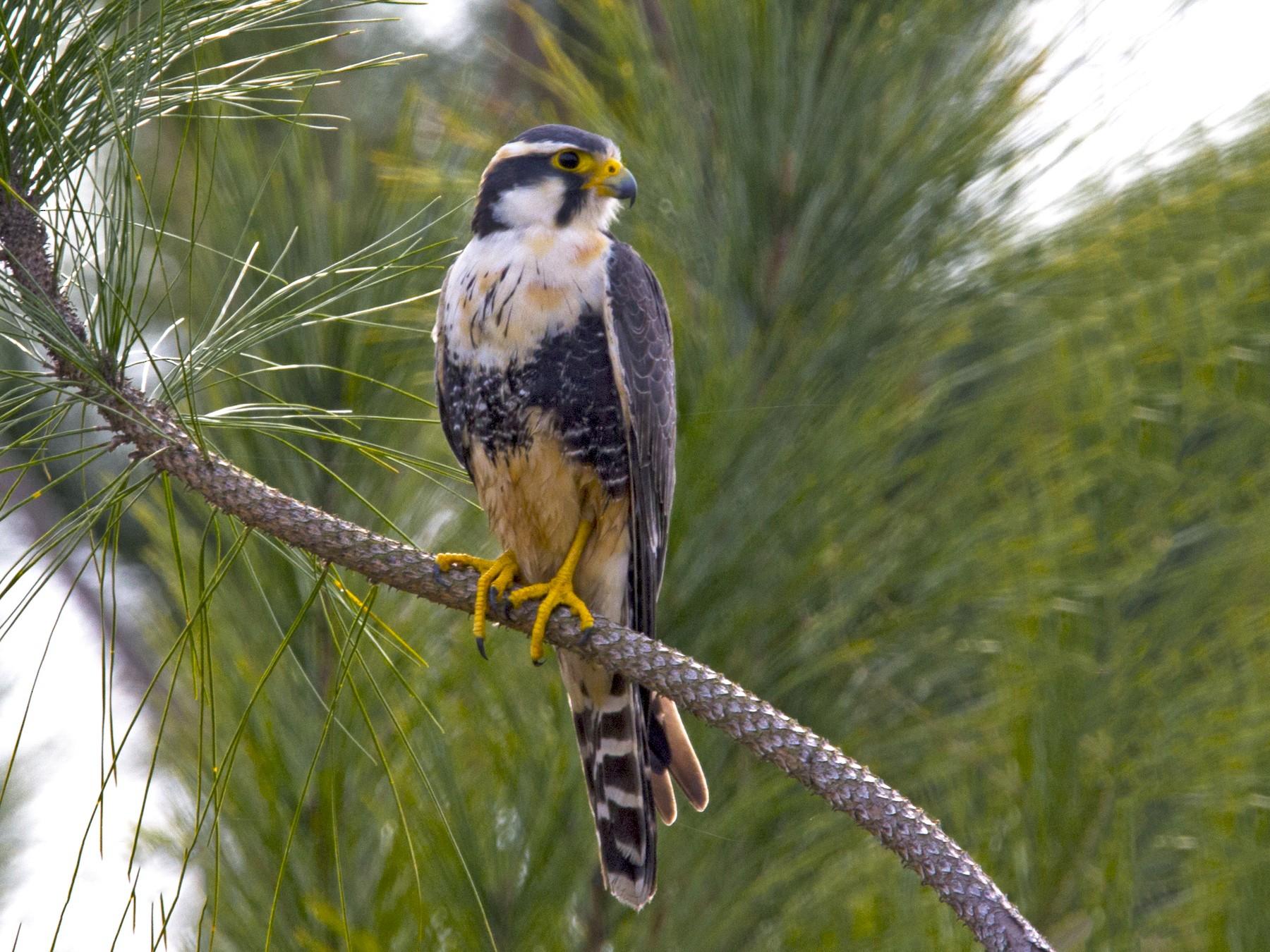 Aplomado Falcon - José  Esquivel