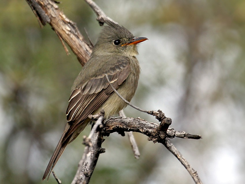 Greater Pewee - Dick Dionne