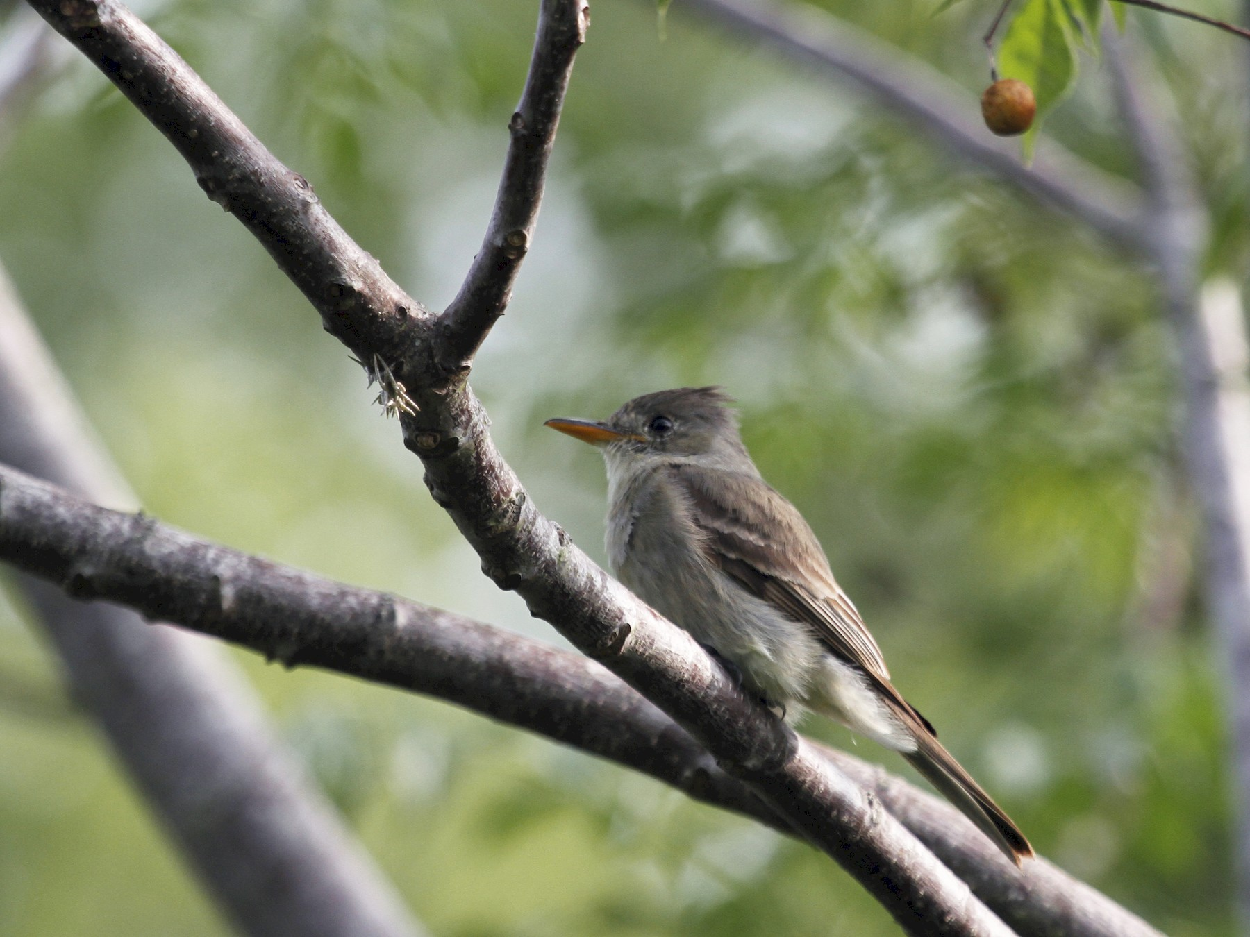 Greater Pewee - Jane Tillman