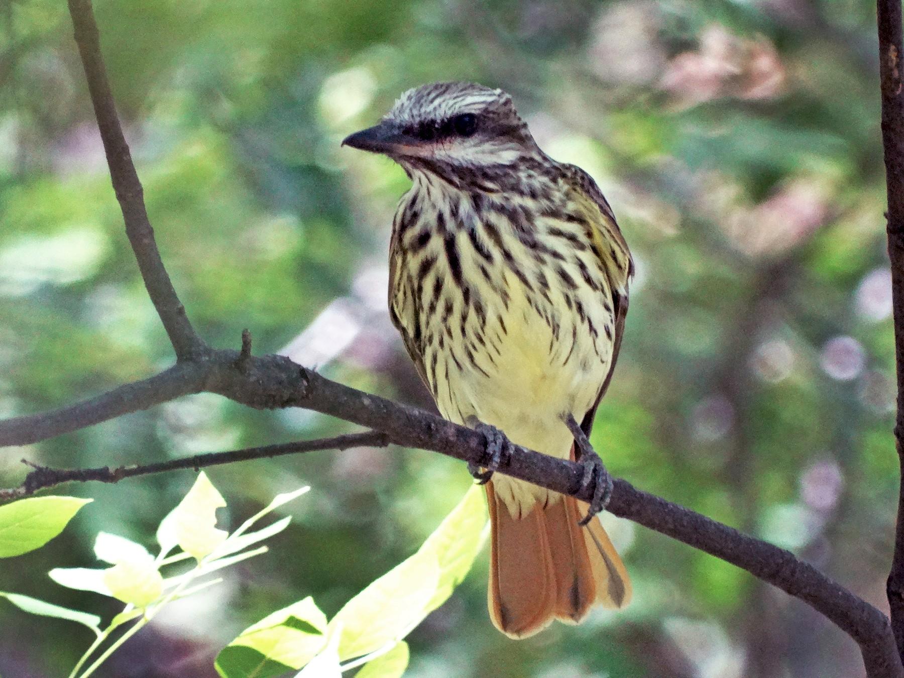 Sulphur-bellied Flycatcher - Janine McCabe