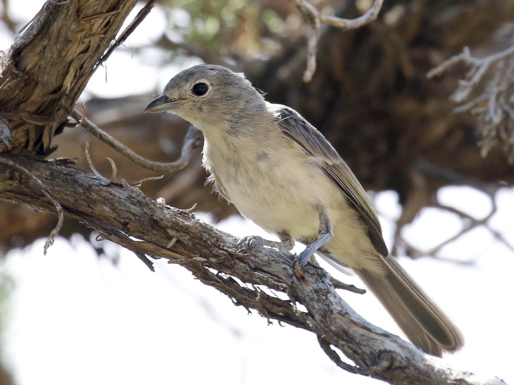 Gray Vireo - Mark Chavez