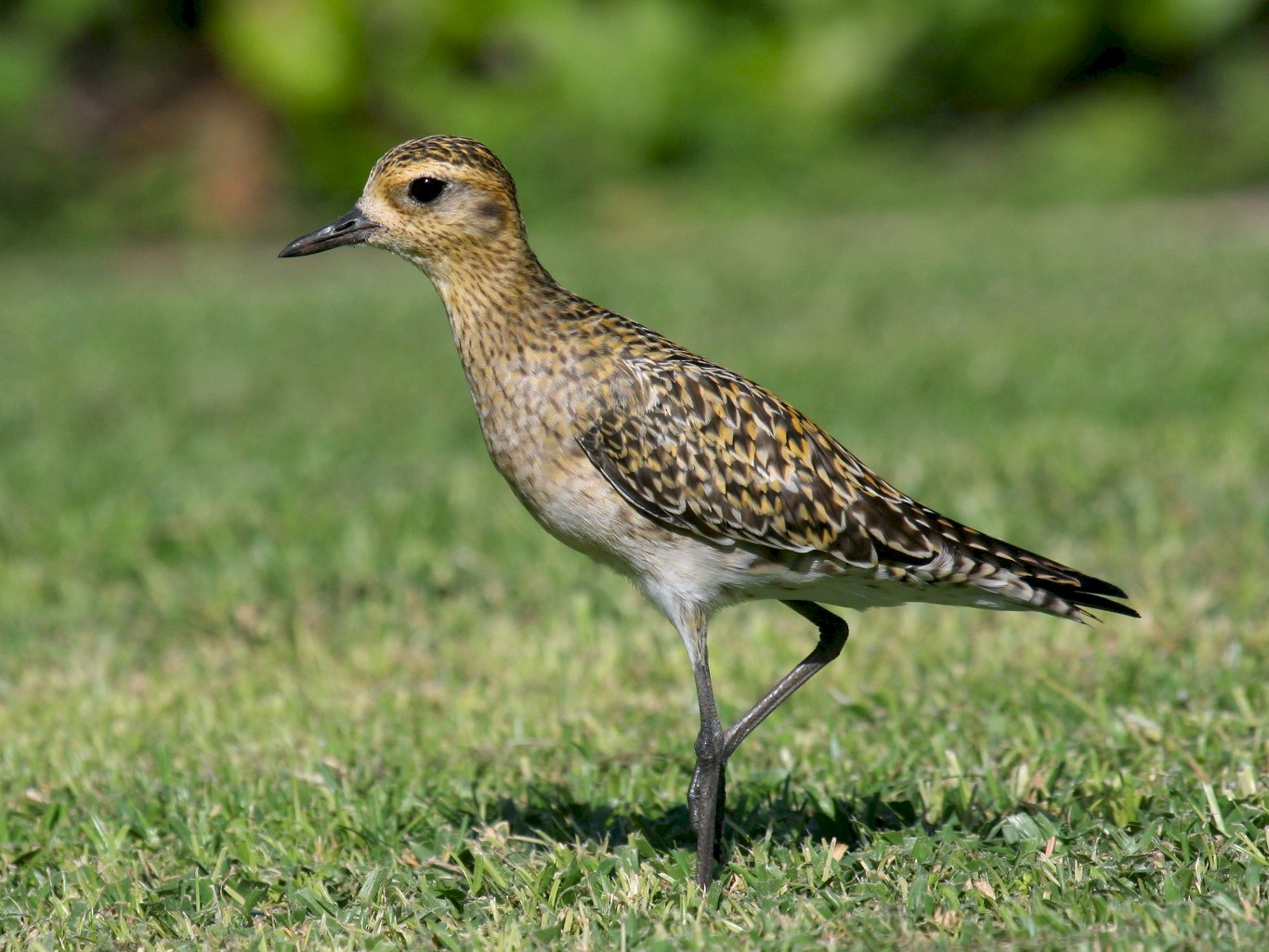 Pacific Golden-Plover - Nick Anich