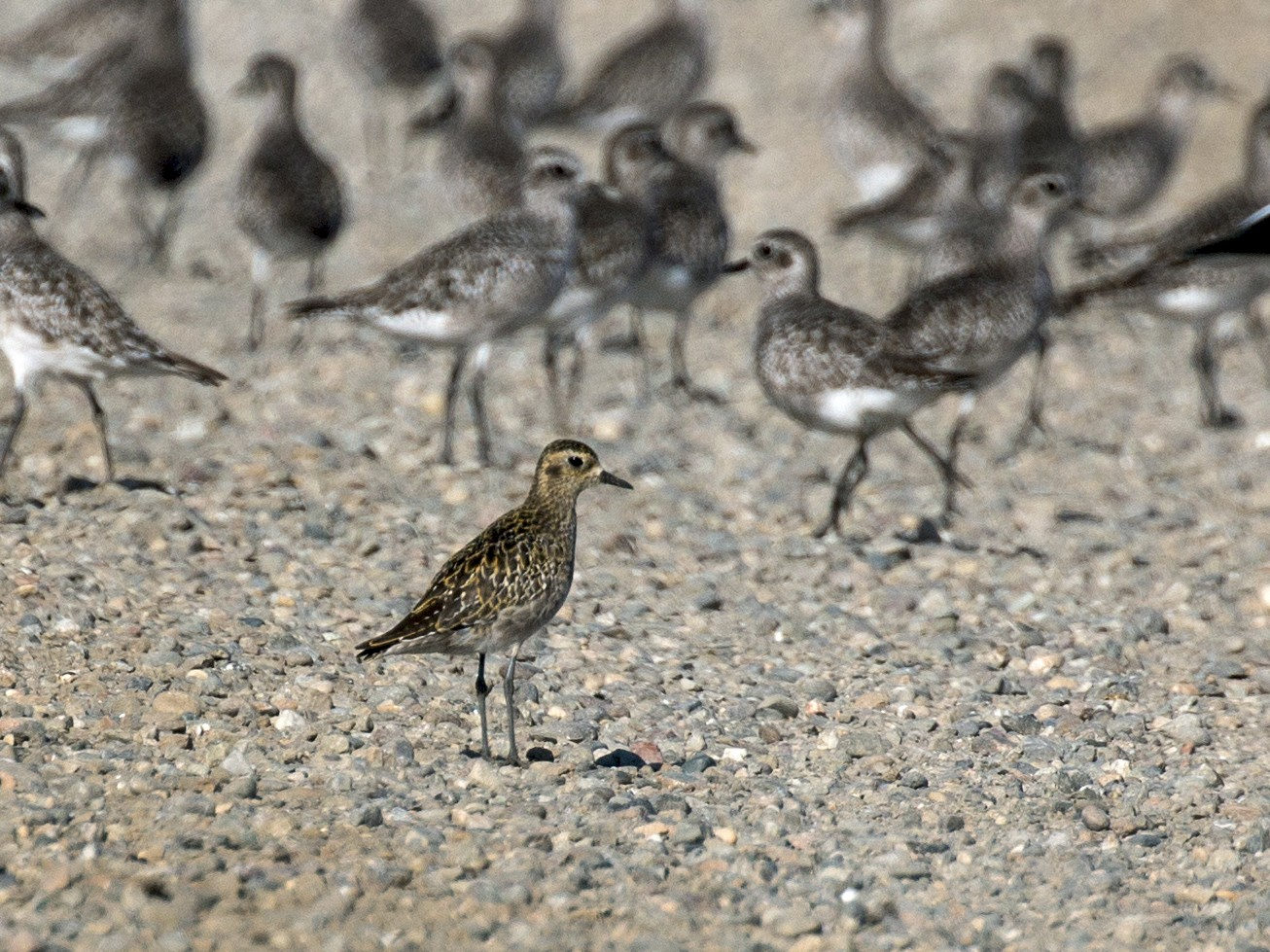 Pacific Golden-Plover - Jim Gain