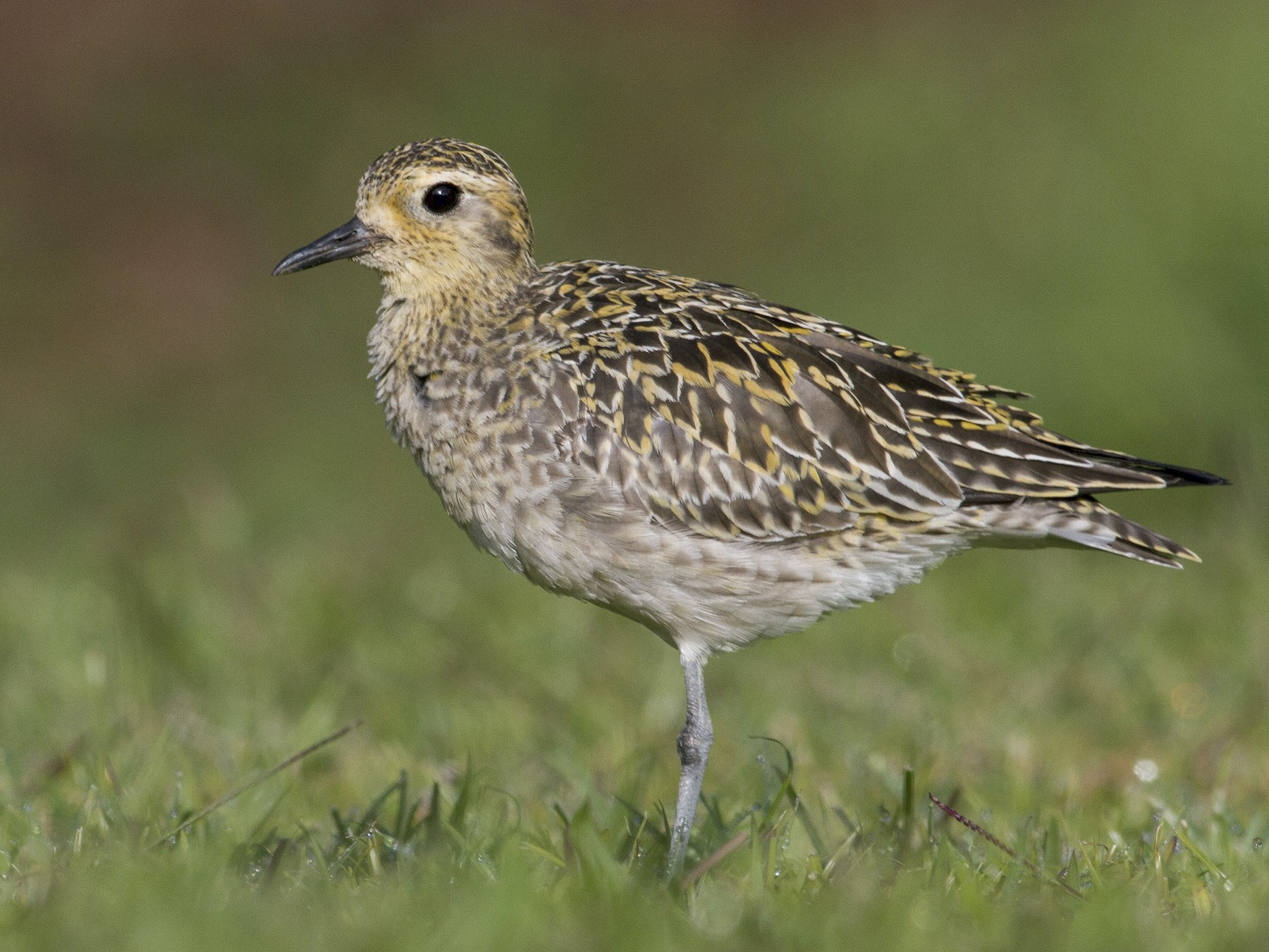 Pacific Golden-Plover - Jacob Drucker