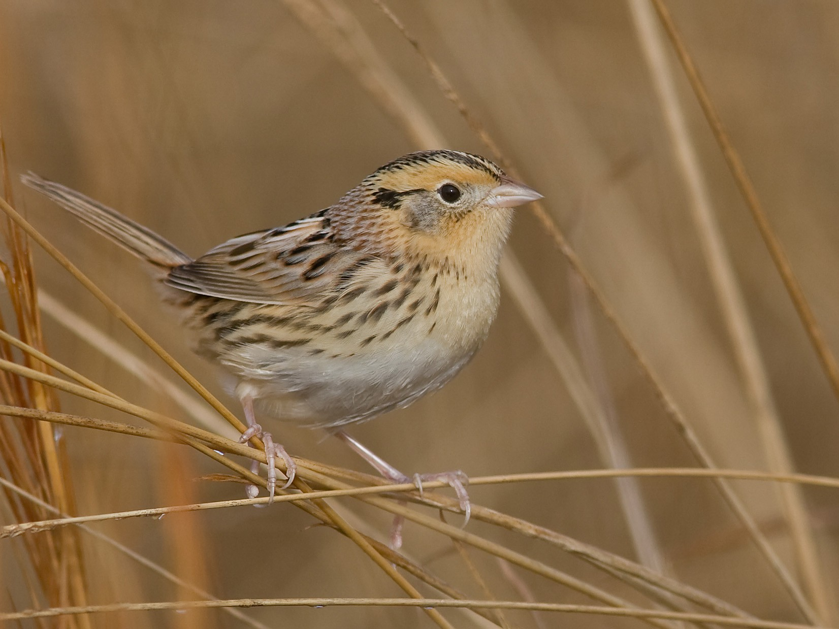 LeConte's Sparrow - Brian Sullivan