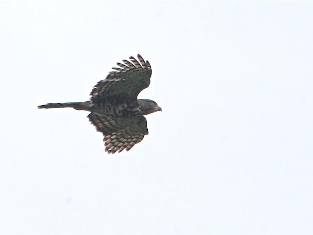 Congo Serpent-Eagle