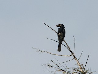 - Piping Hornbill