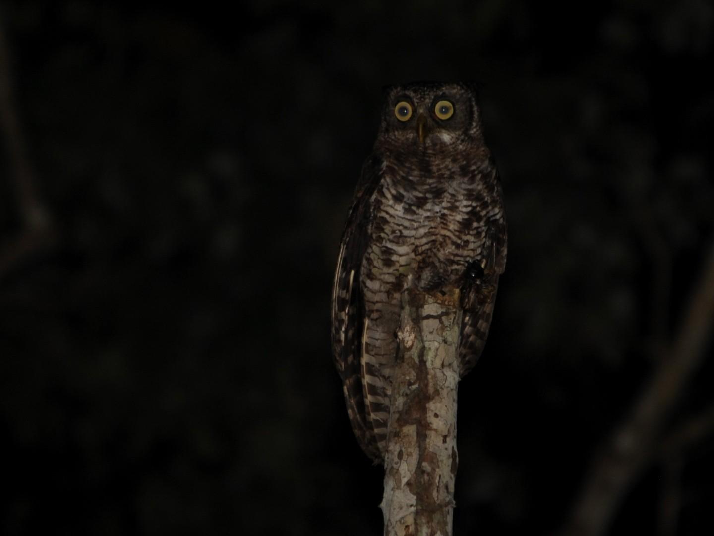 Akun Eagle-Owl - Alan Van Norman