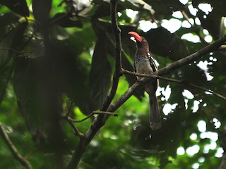- Red-billed Dwarf Hornbill