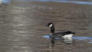 Cackling Goose (Richardson's), ML40425541