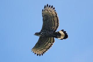- Blyth's Hawk-Eagle