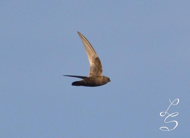 Rothschild's Swift