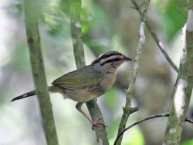 Olive Sparrow - Martin Reid