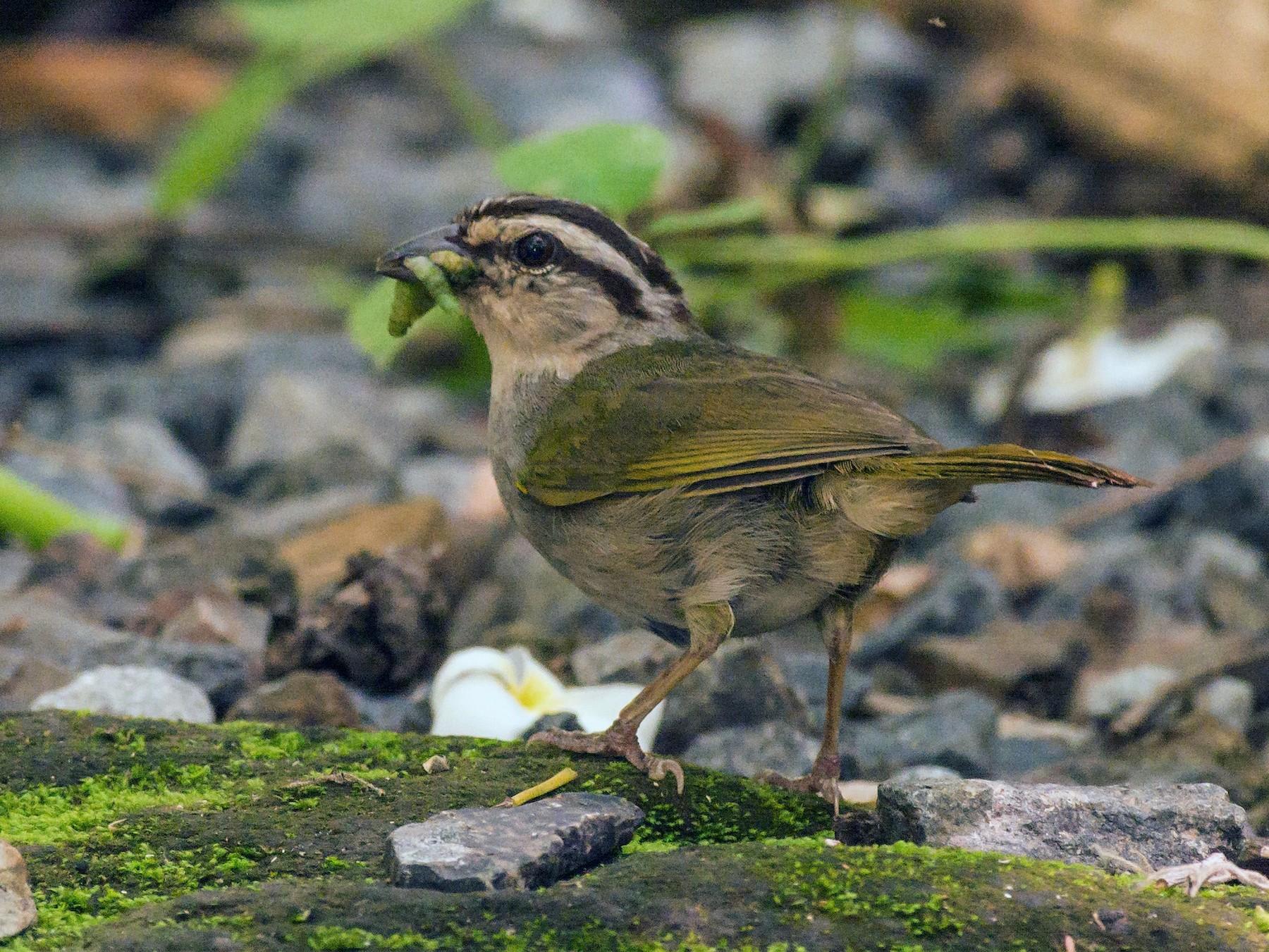 Olive Sparrow - Tal Pipkin