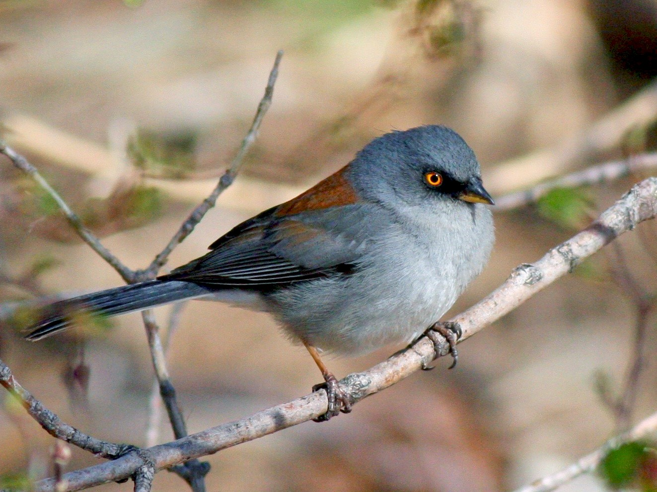 Yellow-eyed Junco - Aaron Marshall