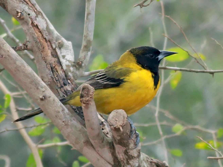 Audubon's Oriole - Nick Bonomo
