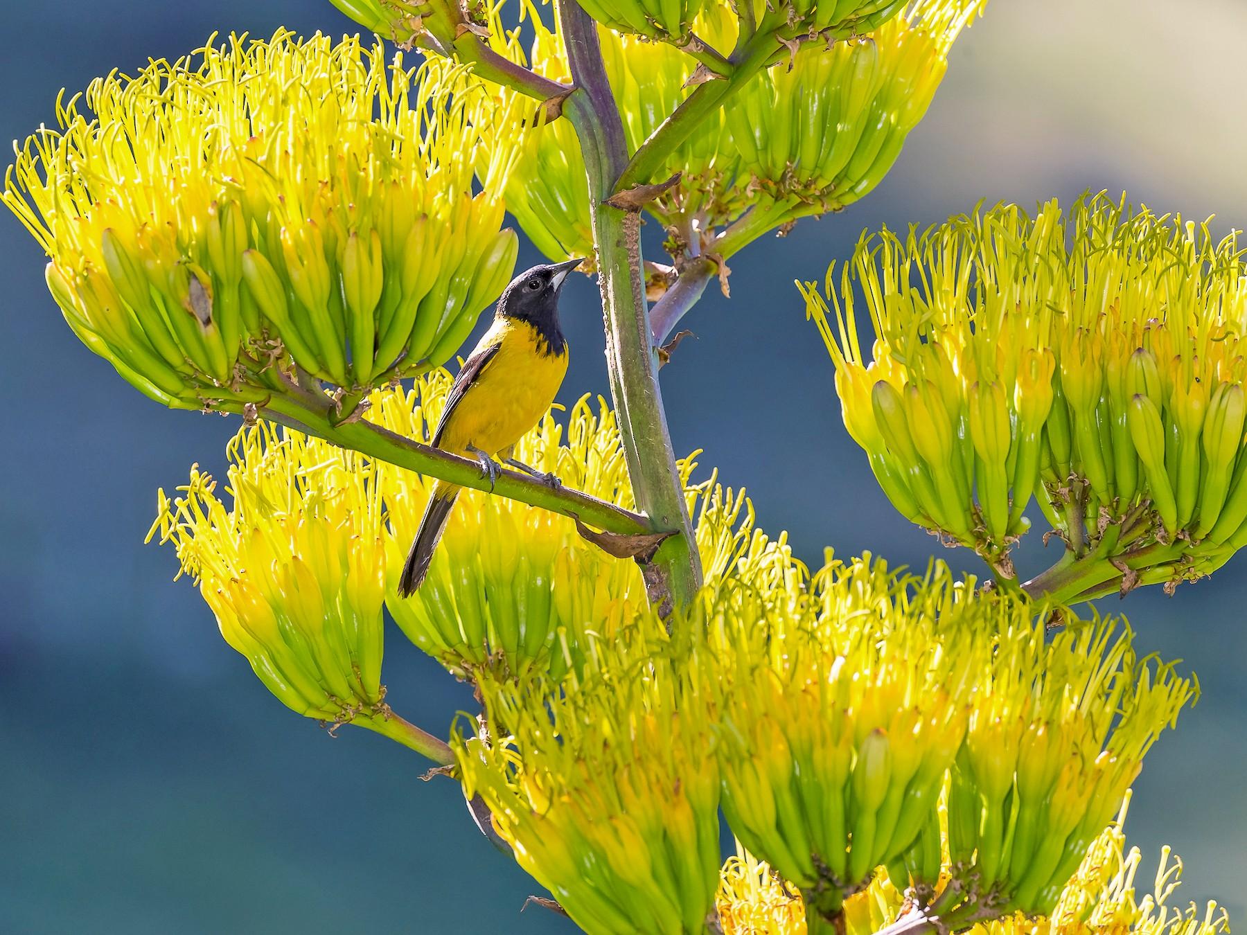 Audubon's Oriole - Edgar Miceli