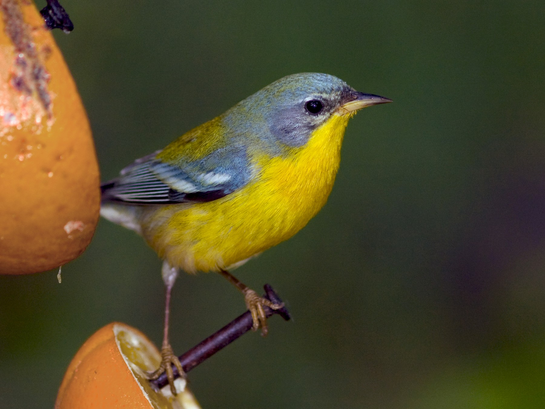 Tropical Parula - David Disher