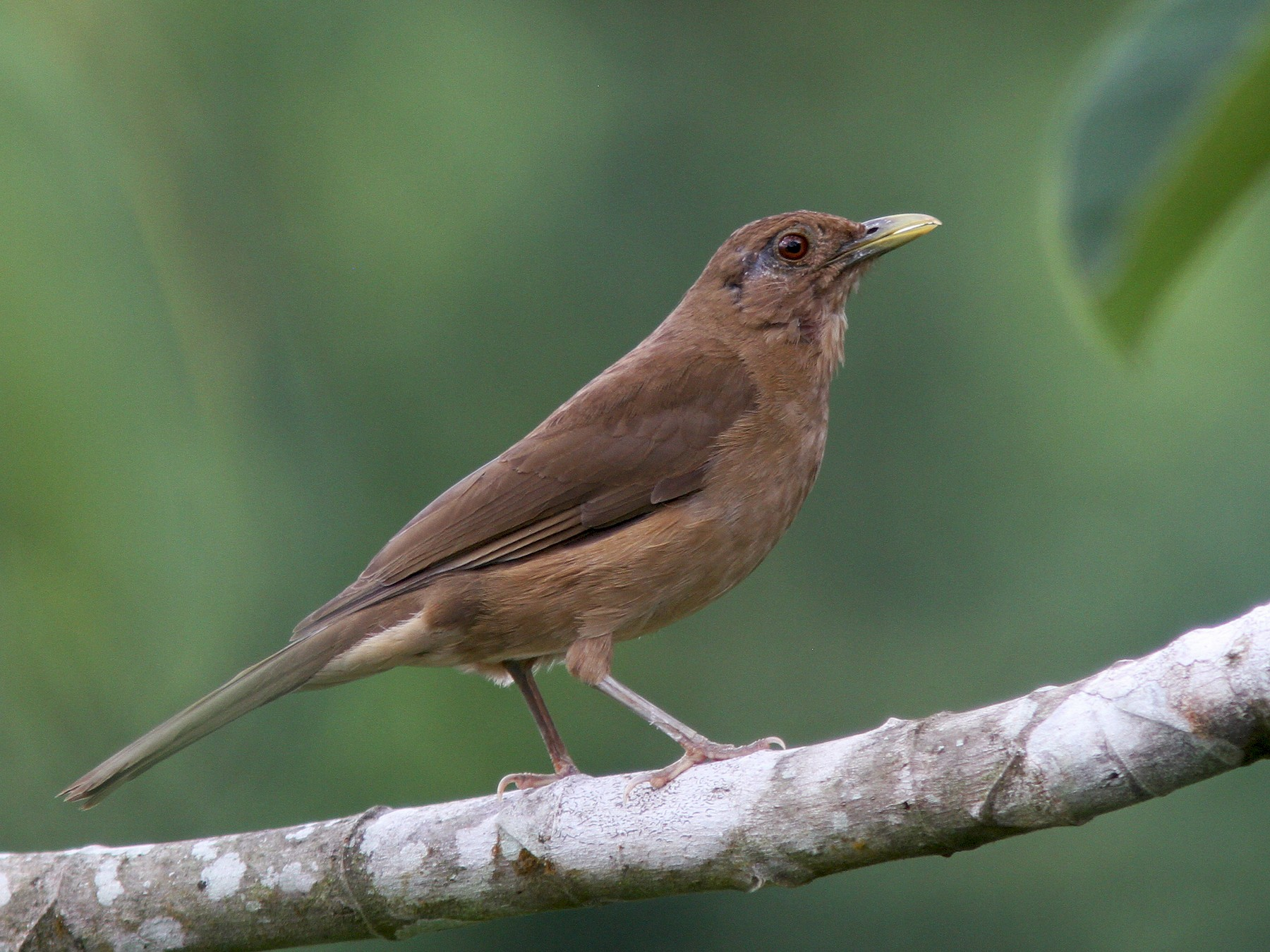 Clay-colored Thrush - Larry Therrien