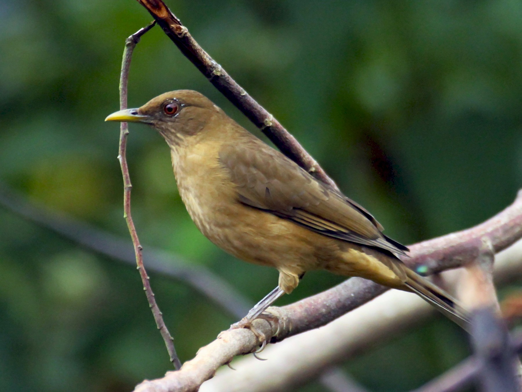 Clay-colored Thrush - Carlos Funes