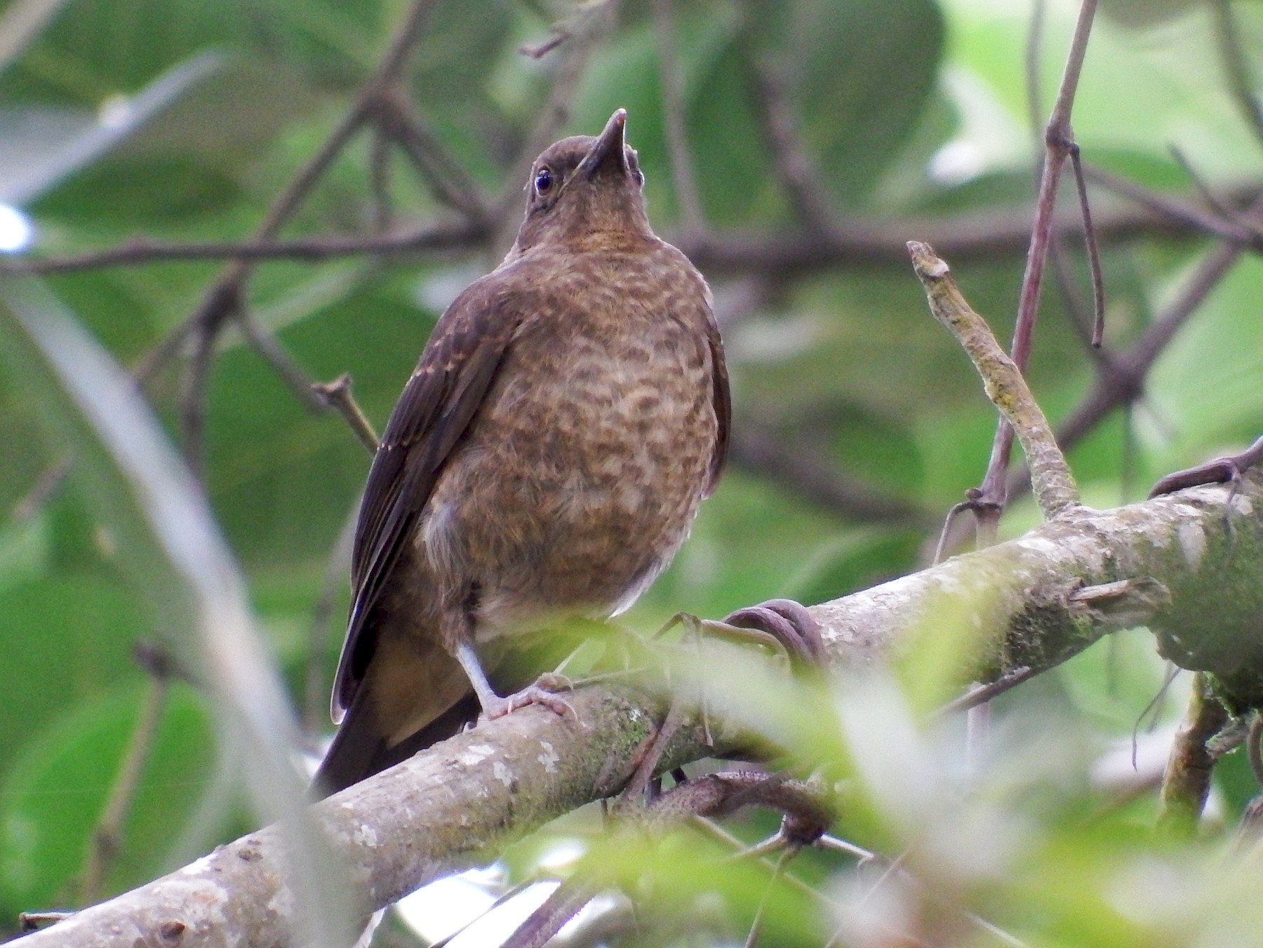 Clay-colored Thrush - Bobby Wilcox
