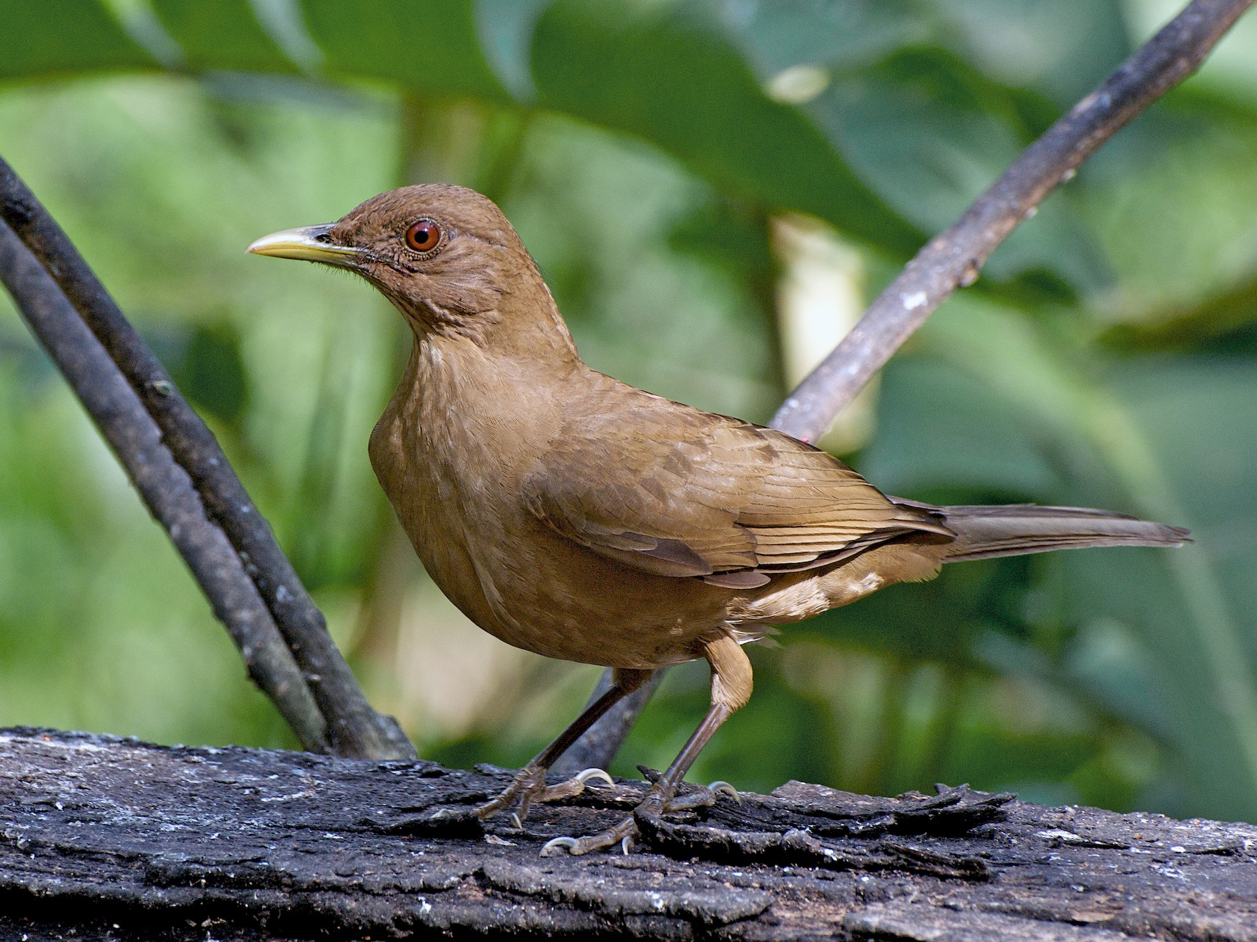 Clay-colored Thrush - Christian  Nunes