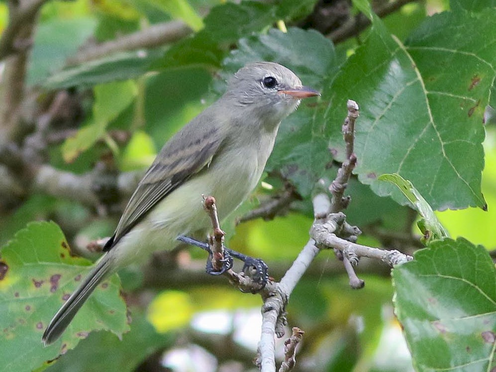 Northern Beardless-Tyrannulet - Michael O'Brien