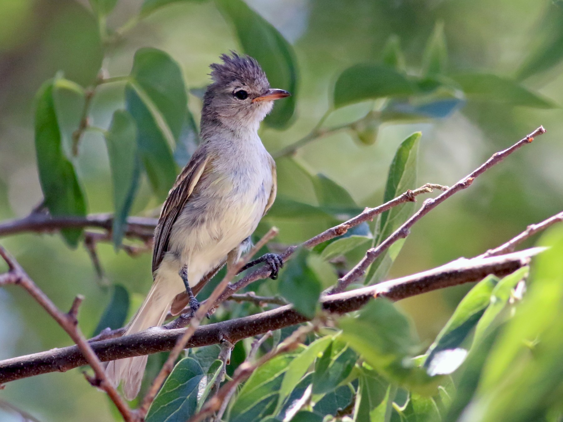 Northern Beardless-Tyrannulet - Thomas Ford-Hutchinson