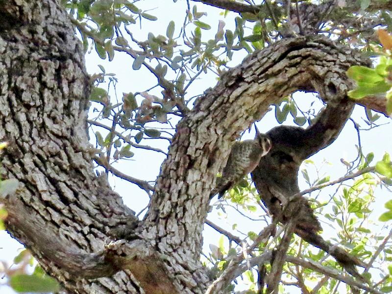 Arizona Woodpecker - Babs Buck