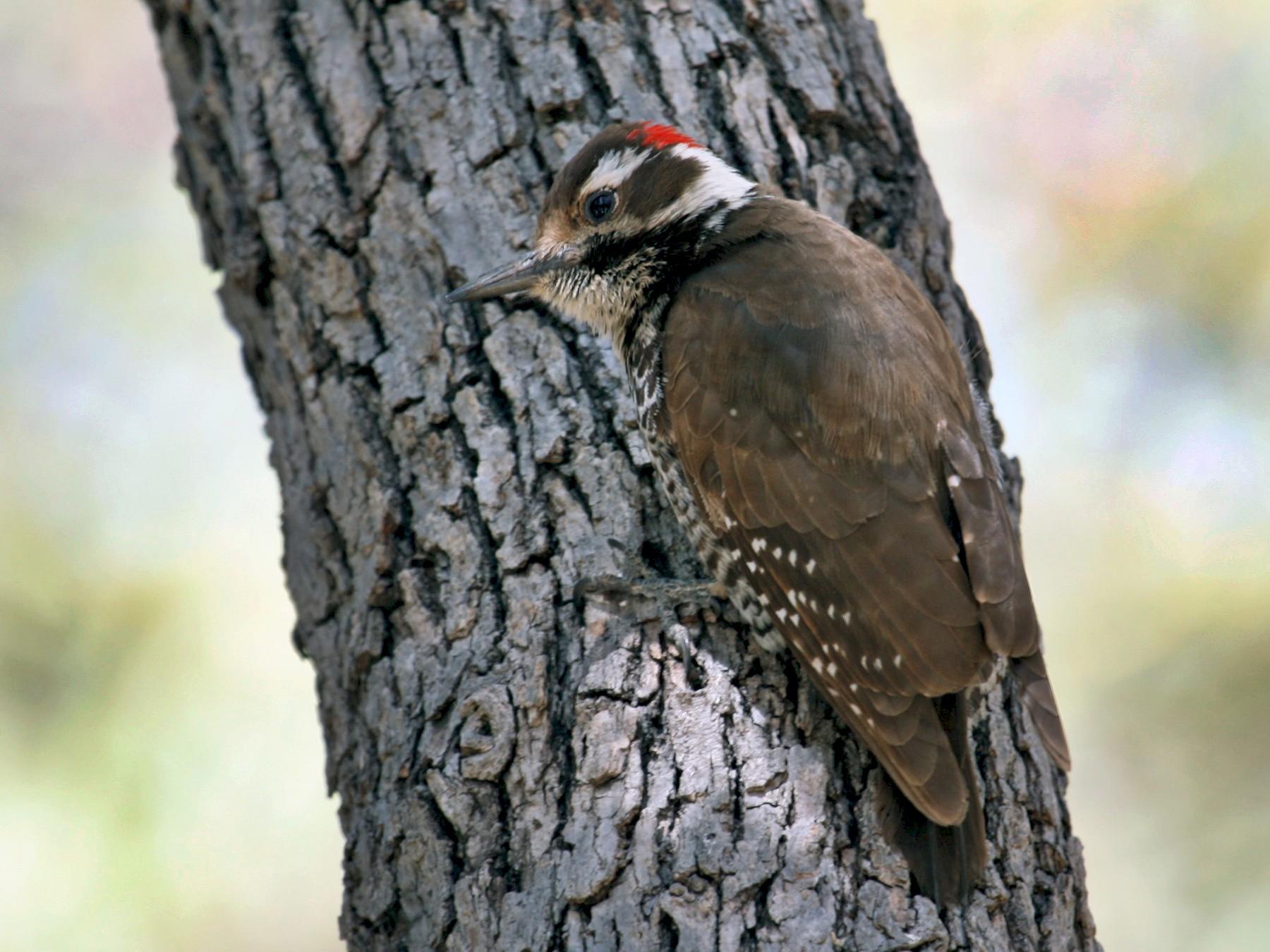 Arizona Woodpecker - Laurens Halsey